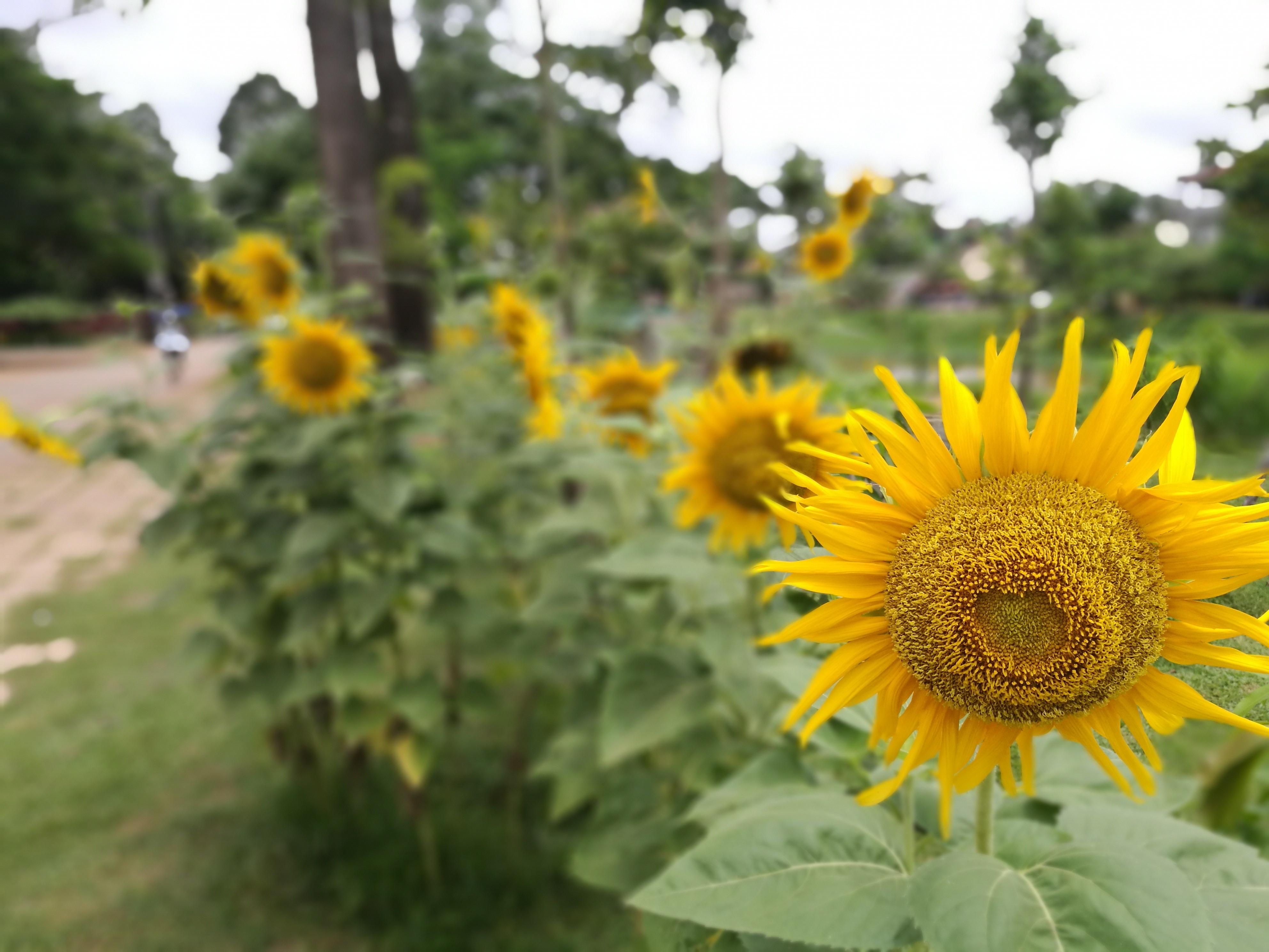 Sunflowers Siem Reap River